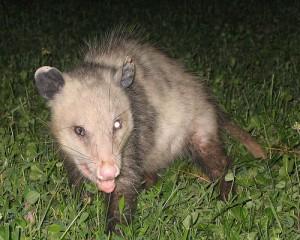 Possum Troubles - Information Central