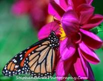 Side Monarch