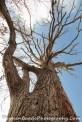 Giant Tall Oak