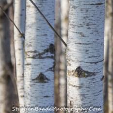 Birch Two