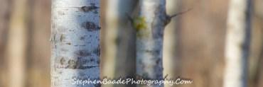 Birch Six