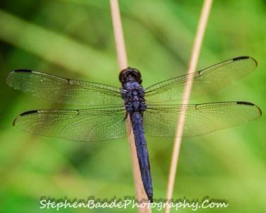 Dark Blue Dragonfly