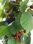Southern Cal Blackberries