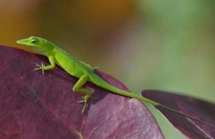 carolina-anole-lizard-sml-john-sullivan-aol.jpg