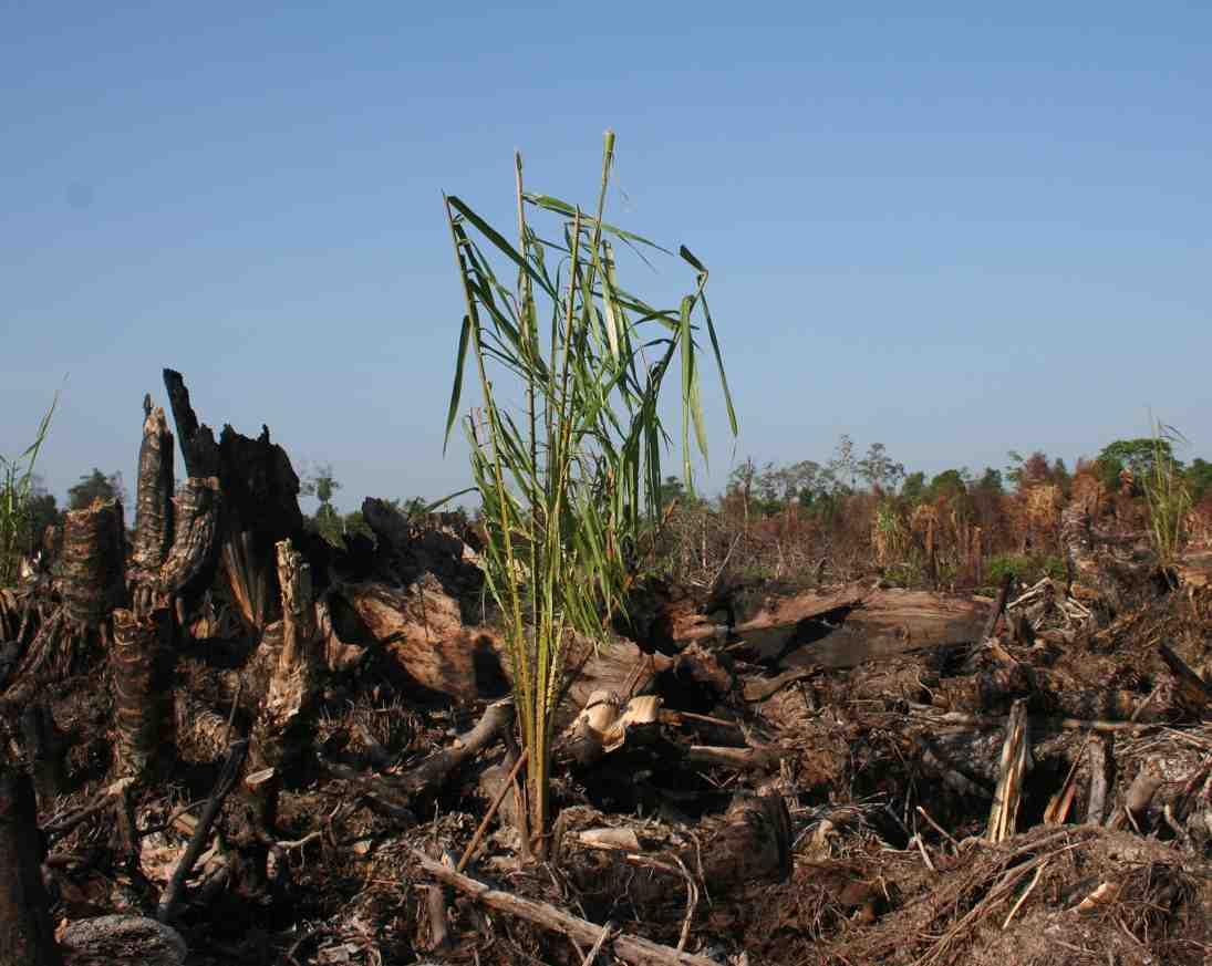 oil-palm-seedling-in-burned-peat-forest-wetland-international.jpg
