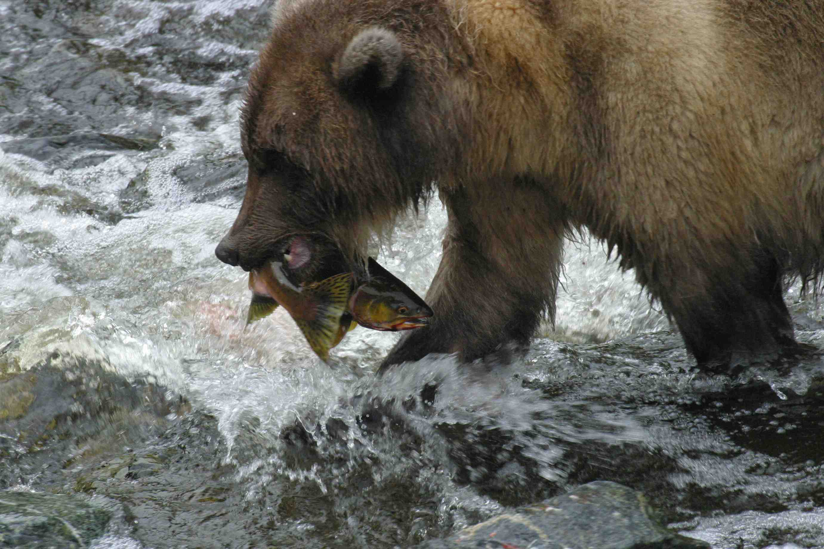 bear-catching-salmon-low-alex-morton