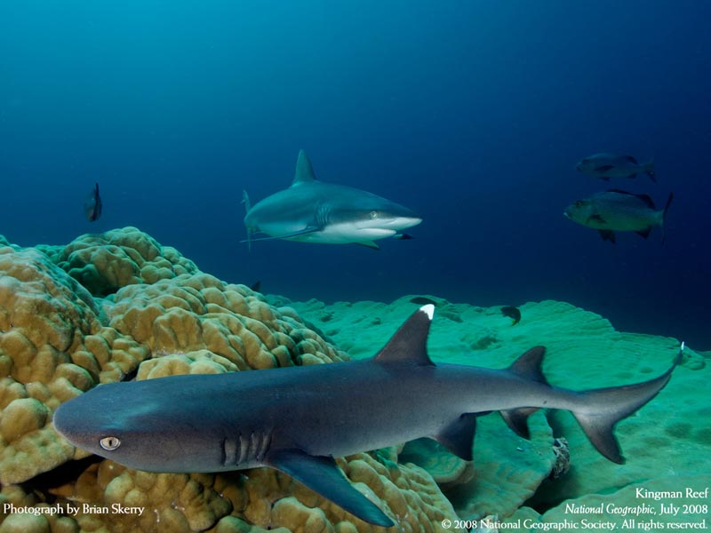 whitetip-grey-reef-sharks