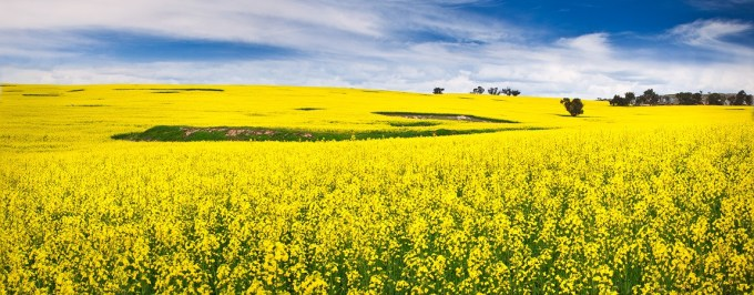 canola-field-york-1150x450