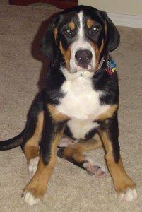 Belle as puppy