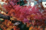 The Japanese maple turns a brilliant red in the fall.