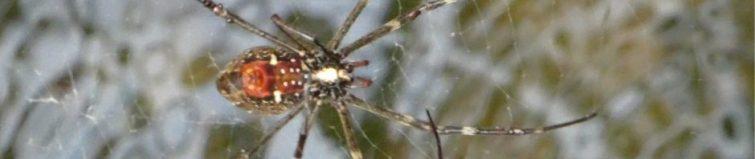 Spinne Australien