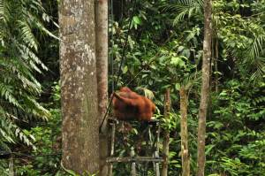 Orangutan… men of the Jungle
