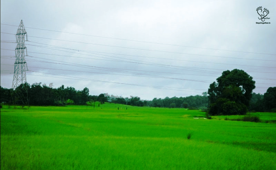 Endless green paddy fields