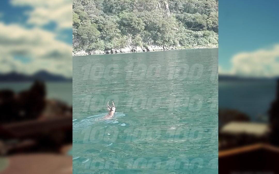El «Venado Nadador» en Atitlán