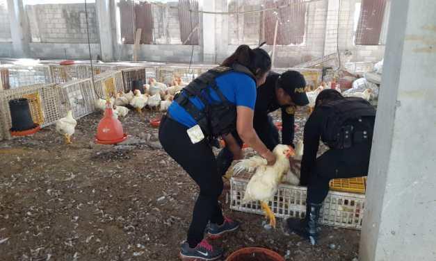 Decomisan aves de corral en Coatepeque