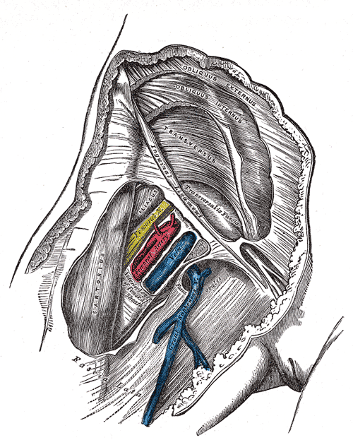 Femoral sheath laid open to show its three compartments. Click to enlarge.