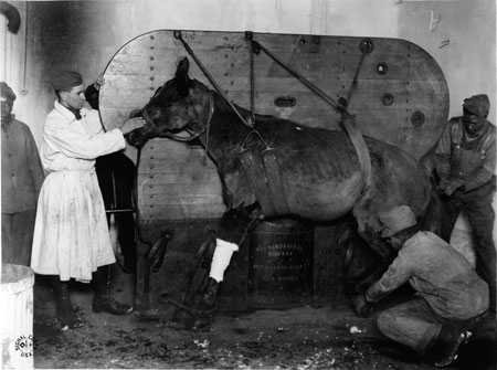 """A horse strapped and being lowered into position to be operated on for a gunshot wound by 1st LT Burgett. Le Valdahon, Doubs, France. 01/28/1919. Veterinary Hospital #3. The lettering under the horse says """"The Simplicity Equine Operating Table."""""""