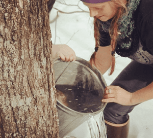 Collecting the maple sap