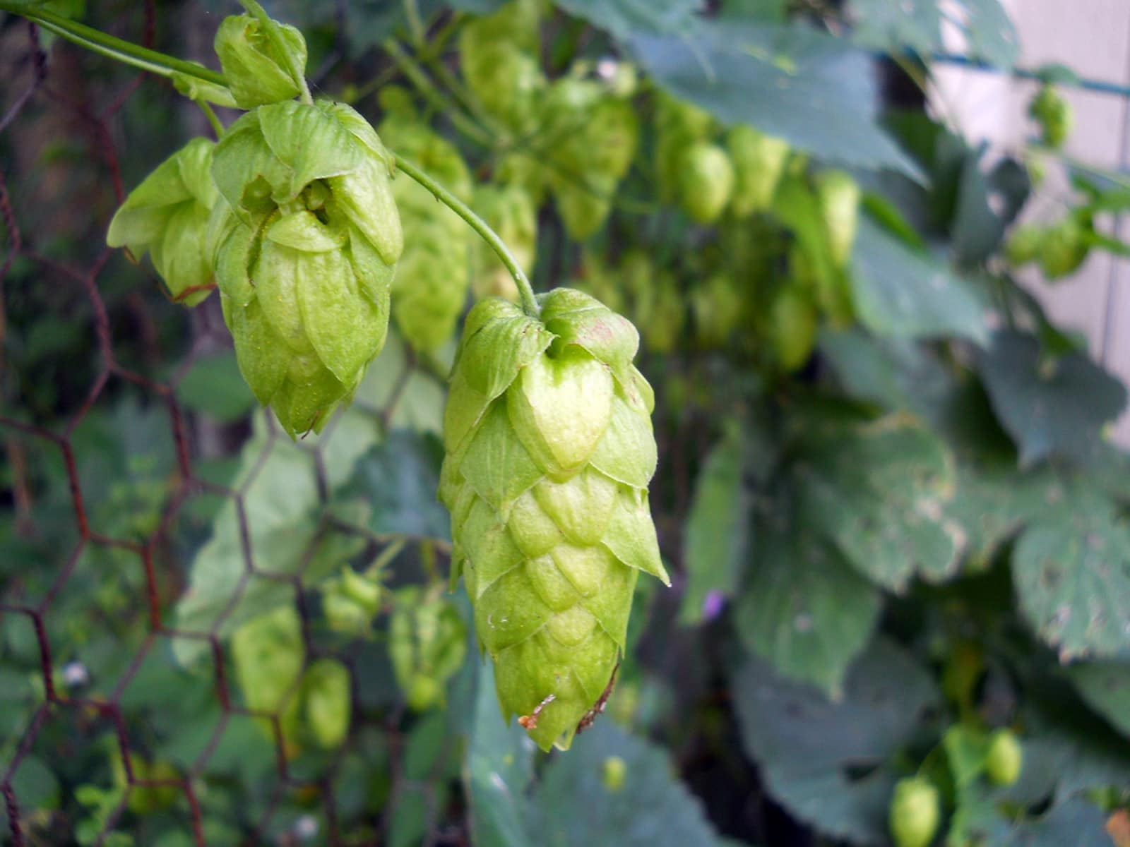growing hops sustainable small scale production for home and