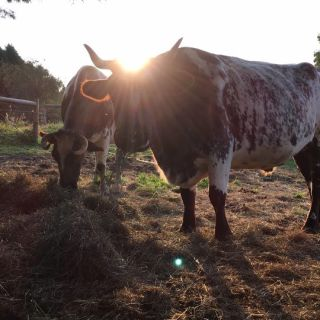 Mike and Jake (a team of Durham oxen)