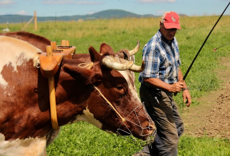 Mike and Jake (a team of Durham oxen) plowing the fields