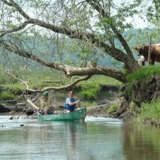 Two people canoeing down a river in a green canoe. Tree overhanging river. Cows grazing near tree on right side of photo.