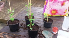 repotted peas
