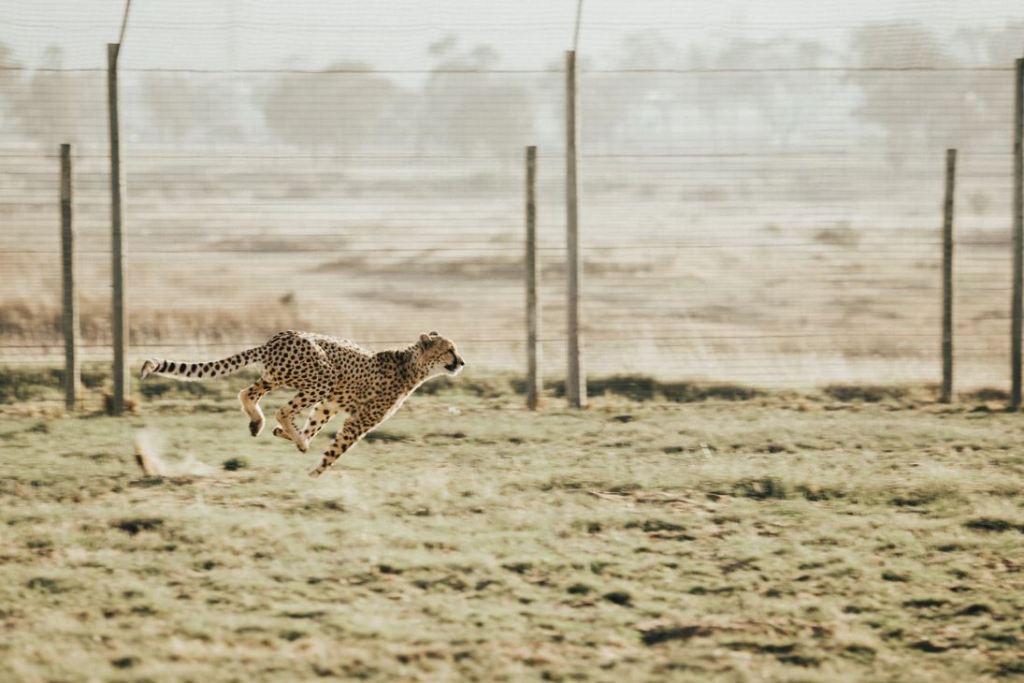 Wanted To See A Cheetah