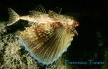 pesce civetta