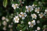 Cotoneaster-dammeri - fiori