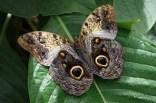 Caligo eurilochus (farfalla gufo)