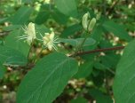 lonicera_xylosteum_flowers
