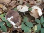 agaricus-silvycola