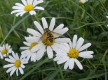 myathropa-florea-mosca-batman