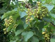 paulownia-tomentosa-foglie-e-frutti