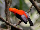 cockoftherock - rupicola peruvianus