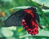 Papillo rumantziova
