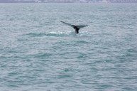 Whale at Húsavík