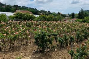 The Rose Of Vence