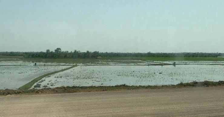 rice growing in paddies