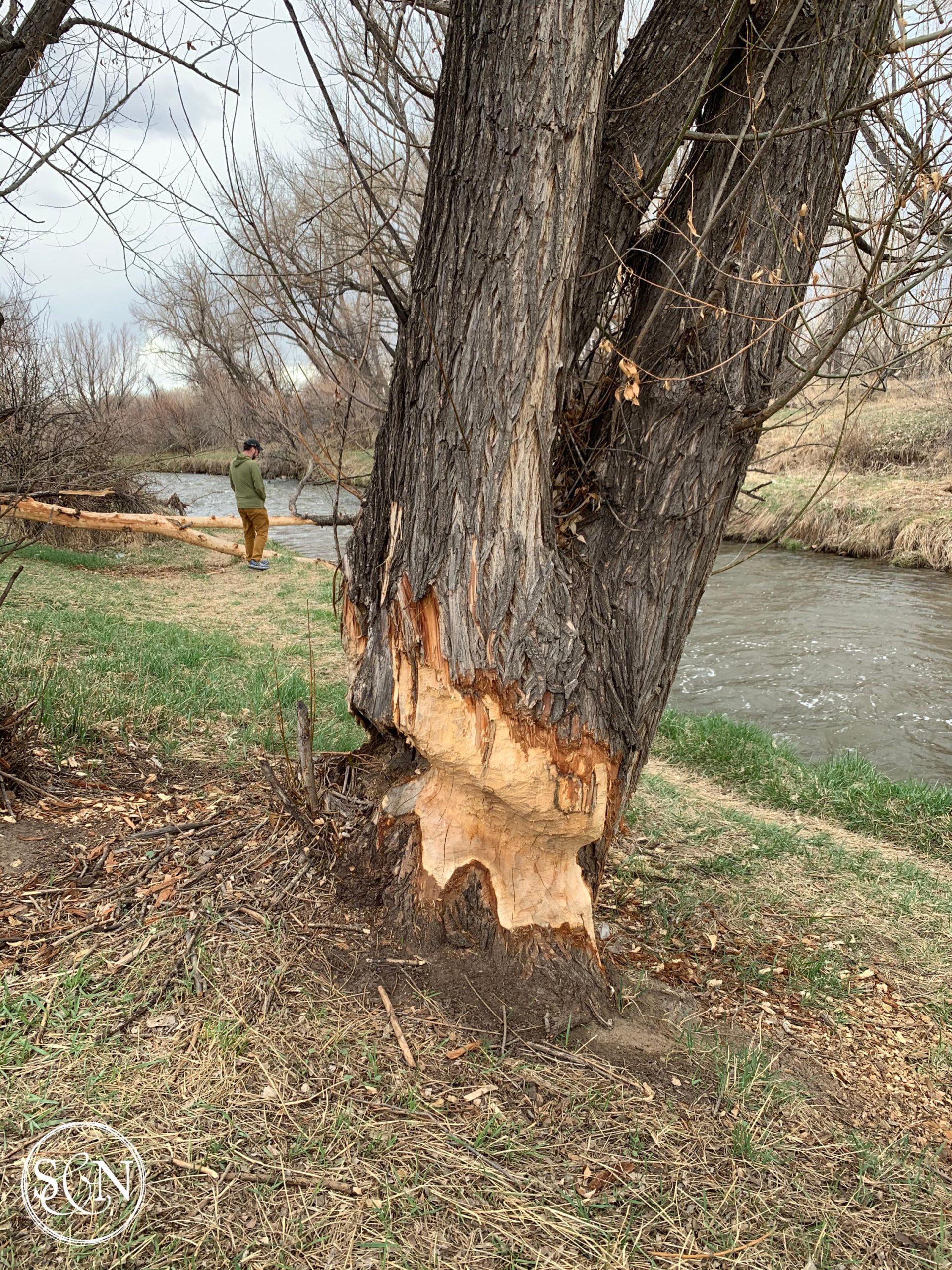 Beaver-eaten tree