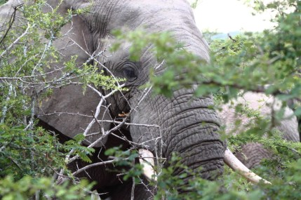 Elephant in the trees
