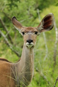 Kudu listening in two different directions