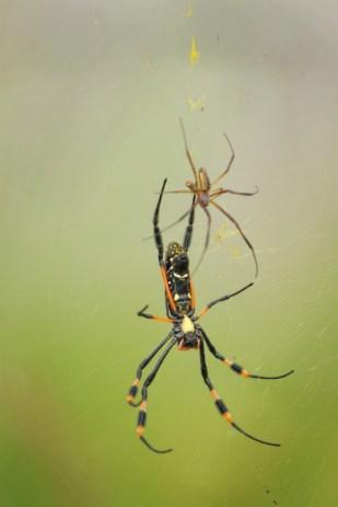 Golden Orb Spiders