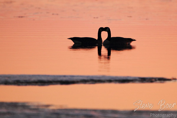 Goose Love