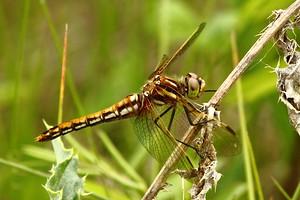 Orange-brown Dragonfly