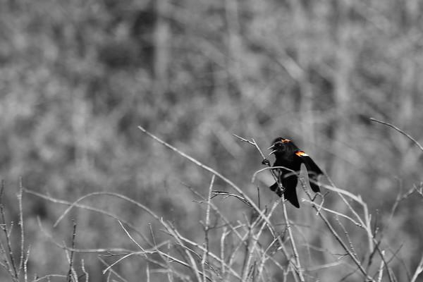Evil Blackbird