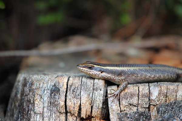 Skink getting some sun
