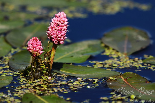 Flowering Pond Plant