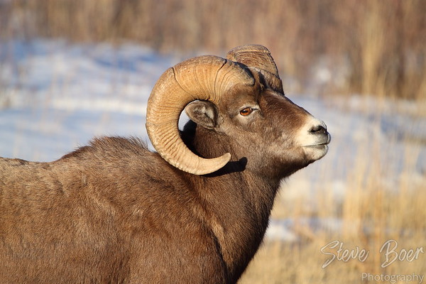 Bighorn sheep profile